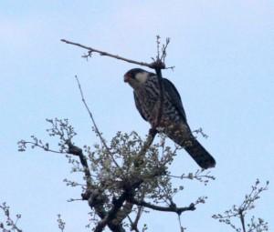 Rare sighting of Amur falcon near Nagpur