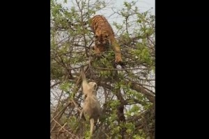 Clever monkey humiliates tiger at Indian national park