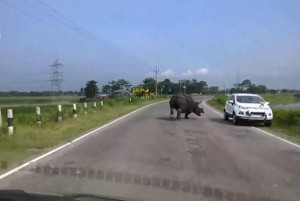 Road-raging rhinoceros runs loose on stretch of motorway