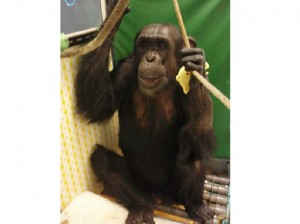 Here's how a computer helped a paralyzed chimp walk again
